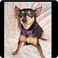 Adopt A Pet :: Cuddles - Phoenix, AZ