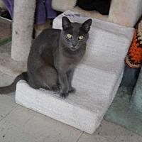Domestic Shorthair Cat for adoption in San Pablo, California - DAVID