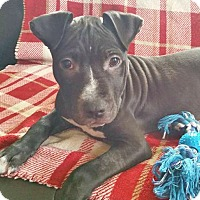 Adopt A Pet :: Stanley - North Olmsted, OH