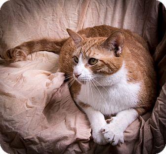 Domestic Shorthair Cat for adoption in Anna, Illinois - APOLLO