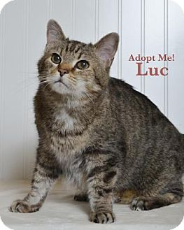 Domestic Shorthair Cat for adoption in West Des Moines, Iowa - Luc