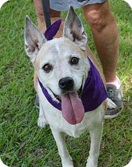 Australian Cattle Dog Mix Dog for adoption in Lafayette, Louisiana - Haley