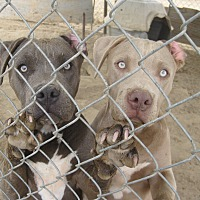 Pit Bull Terrier Mix Dog for adoption in Lancaster, California - Fawn
