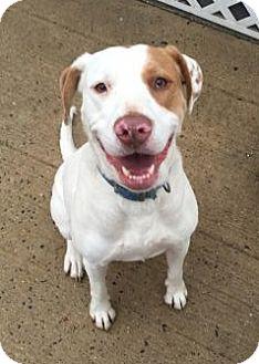 Boxer/Labrador Retriever Mix Dog for adoption in Pembroke, Georgia - Angel