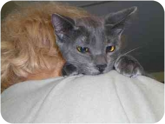 Domestic Shorthair Cat for adoption in Lombard, Illinois - Itsaboy