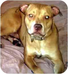 Labrador Retriever Mix Dog for adoption in Forest Hills, New York - PAL