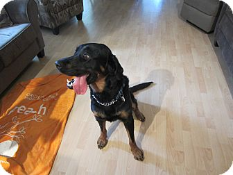 Rottweiler/Retriever (Unknown Type) Mix Dog for adoption in Surrey, British Columbia - Romeo