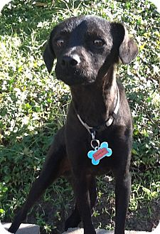 Terrier (Unknown Type, Small)/Patterdale Terrier (Fell Terrier) Mix Dog for adoption in El Cajon, California - JORDAN (Canada)