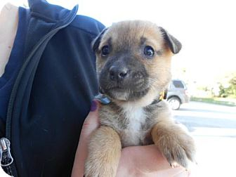 German Shepherd Dog Mix Puppy for adoption in Atascadero, California - Blake