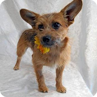 Norwich Terrier Mix Dog for adoption in Gig Harbor, Washington - Jill