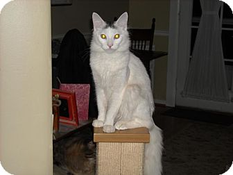 Turkish Angora Cat for adoption in Arlington, Virginia - Freddy