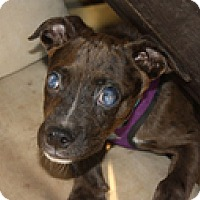 Catahoula Leopard Dog Mix Dog for adoption in Wilmington, Massachusetts - Gibson