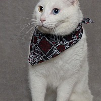 Domestic Shorthair Cat for adoption in Kerrville, Texas - Avalanche