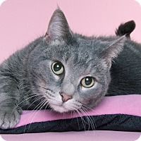 Domestic Shorthair Cat for adoption in Chicago, Illinois - Honey