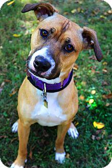 Boxer/Mountain Cur Mix Dog for adoption in Columbia, Pennsylvania - Finn