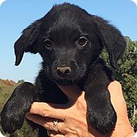 Adopt A Pet :: Hazel - Allentown, PA