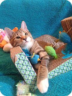 Domestic Shorthair Kitten for adoption in Carlisle, Pennsylvania - Boots
