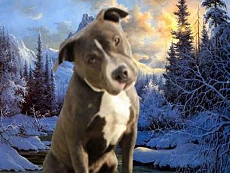 Pit Bull Terrier Dog for adoption in Fairfield, California - NOEL