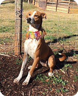 Hound (Unknown Type)/Pointer Mix Dog for adoption in Media, Pennsylvania - LADY JANE