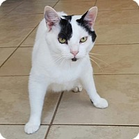 Adopt A Pet :: Snowball - Staley, NC