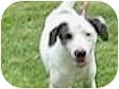 Australian Shepherd/Labrador Retriever Mix Dog for adoption in Tahlequah, Oklahoma - Ponca