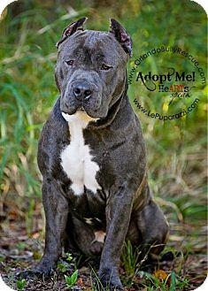 American Staffordshire Terrier/American Pit Bull Terrier Mix Dog for adoption in Orlando, Florida - Mogli