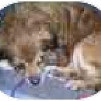 Adopt A Pet :: Teddy Bear - Chesapeake, VA