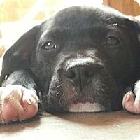Adopt A Pet :: Shelby - Norwalk, CA