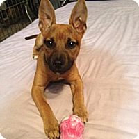 Adopt A Pet :: Dakota in CT - Manchester, CT