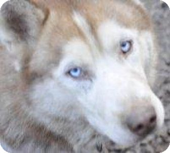 Siberian Husky/Saluki Mix Dog for adoption in Shingleton, Michigan - Boris - SANCTUARY