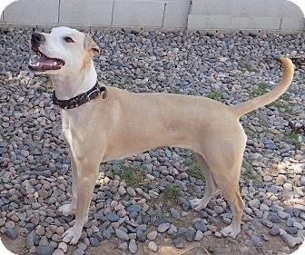 Whippet/Greyhound Mix Dog for adoption in Phoenix, Arizona - Aspen