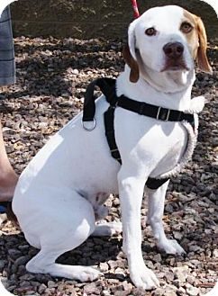 Foxhound Mix Dog for adoption in Gilbert, Arizona - Nubs