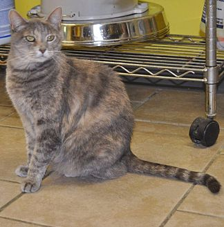 Calico Cat for adoption in Sunrise Beach, Missouri - Sahara