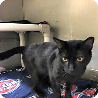 Domestic Shorthair Cat for adoption in Flint, Michigan - Mister