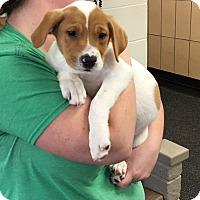 Adopt A Pet :: Pippin - Battle Creek, MI