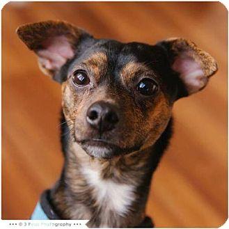 Dachshund/Terrier (Unknown Type, Medium) Mix Dog for adoption in Maple Grove, Minnesota - Houdini