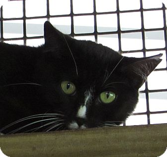 Domestic Shorthair Cat for adoption in Jackson, Missouri - JANETTE