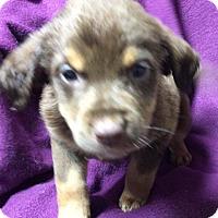 Adopt A Pet :: Porter - Burlington, VT