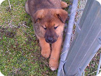 Shepherd (Unknown Type)/Collie Mix Puppy for adoption in Harrisburgh, Pennsylvania - Winnie