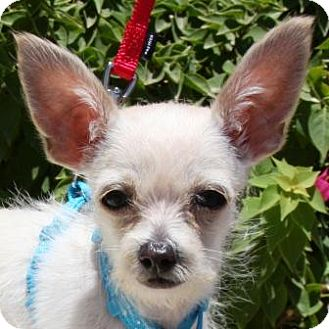 Chihuahua/Terrier (Unknown Type, Small) Mix Puppy for adoption in Gilbert, Arizona - Reno