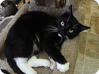 Domestic Longhair Cat for adoption in MADISON, Ohio - Misfit