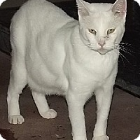 Domestic Shorthair Cat for adoption in Savannah, Missouri - Timothy