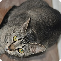 Abyssinian Cat for adoption in Flowery Branch, Georgia - Abigail