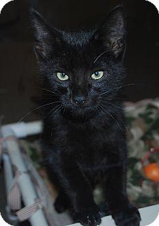 Domestic Shorthair Kitten for adoption in Council Bluffs, Iowa - Magic