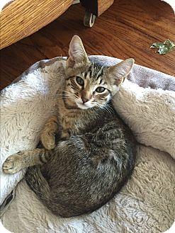 Domestic Shorthair Kitten for adoption in Kelso/Longview, Washington - Linus