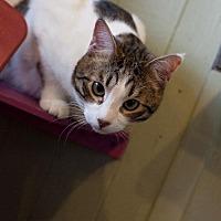 Domestic Shorthair Cat for adoption in Stone Mountain, Georgia - Hank