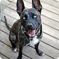 Adopt A Pet :: Loki ( loves people) - Sterling Hgts, MI