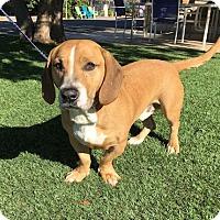 Adopt A Pet :: Hank - Temecula, CA