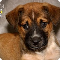 Blue Heeler/Labrador Retriever Mix Puppy for adoption in Santa Fe, Texas - Rowdy