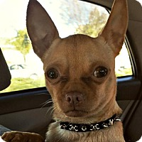 Chihuahua/Pug Mix Dog for adoption in Sunnyvale, California - Coco